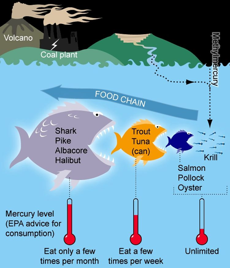 Mercury contamination is an important consideration, especially when it accumulates through the food chains