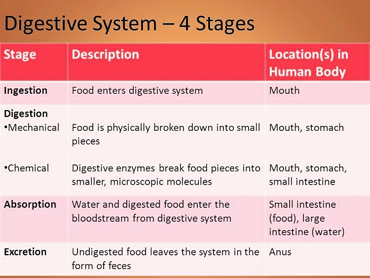 Summary of the Stages of Digestion