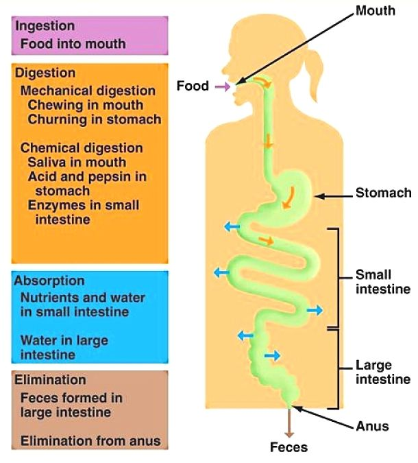 Digestion Stages