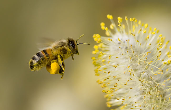 Bees are very important for organic farming as pesticides can kill them in normal farms