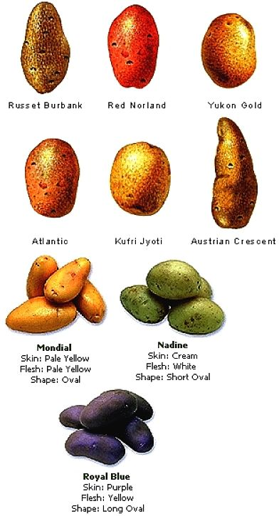 Choose the potato variety to suit the use you want for it. There are large variations with variety.