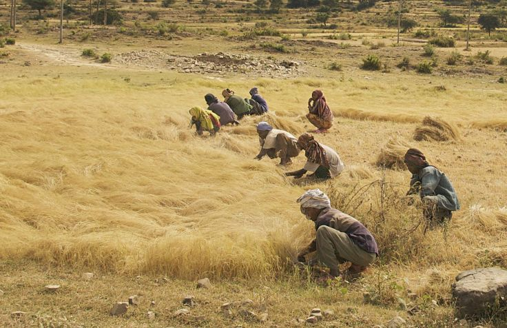 Teff grain being harvested in Ethiopia - learn more about this superfood here