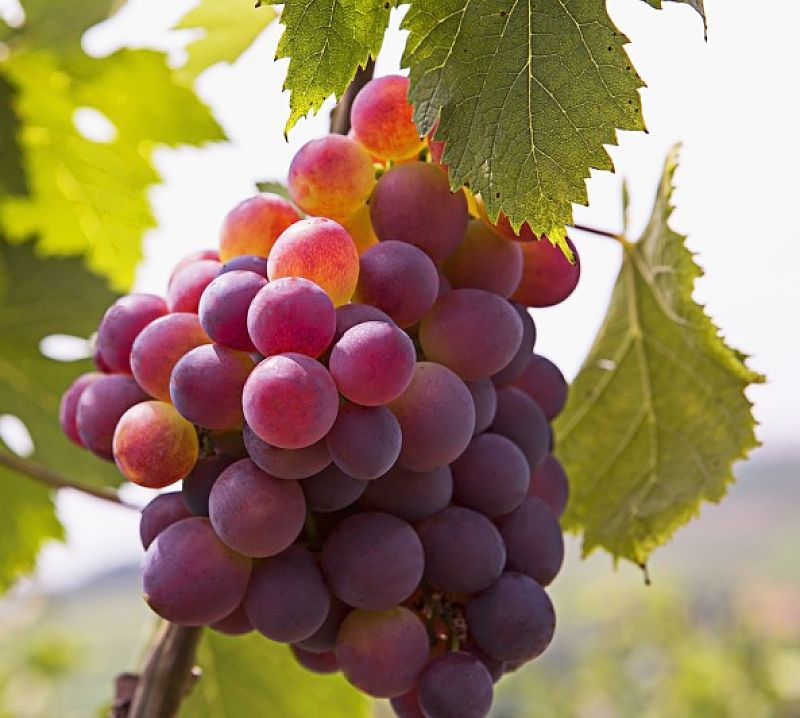 Bunch of red wine grapes - How dies the soil, climate and care offered by the grape grower affect the tastes of wine grown from these grapes to give it a regional terroir